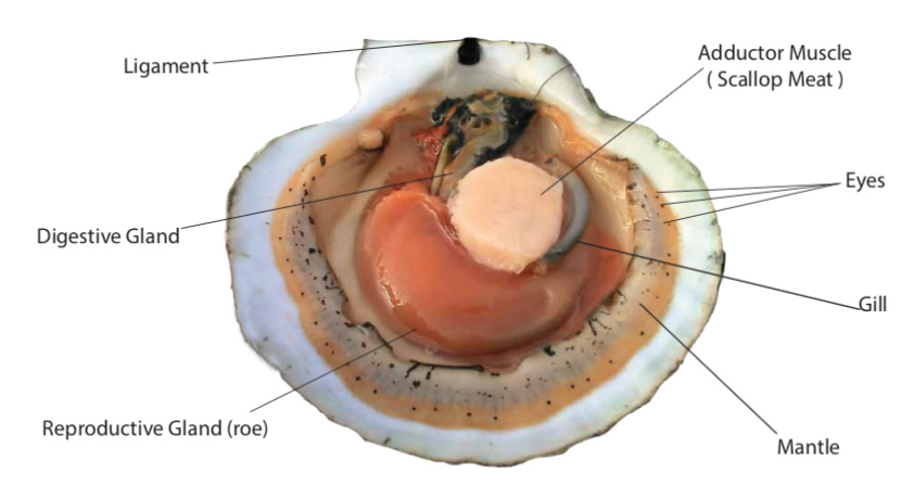 Scallop Anatomy Eastern Fisheries Buyers